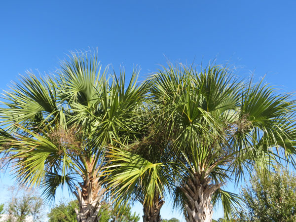 Palm Trees in SC