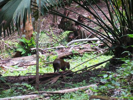 A little Tapir