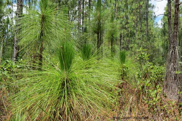 Cluster of little pine tree on the Palmetto Trail.