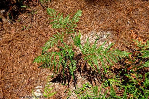 small green fern with red pine needles
