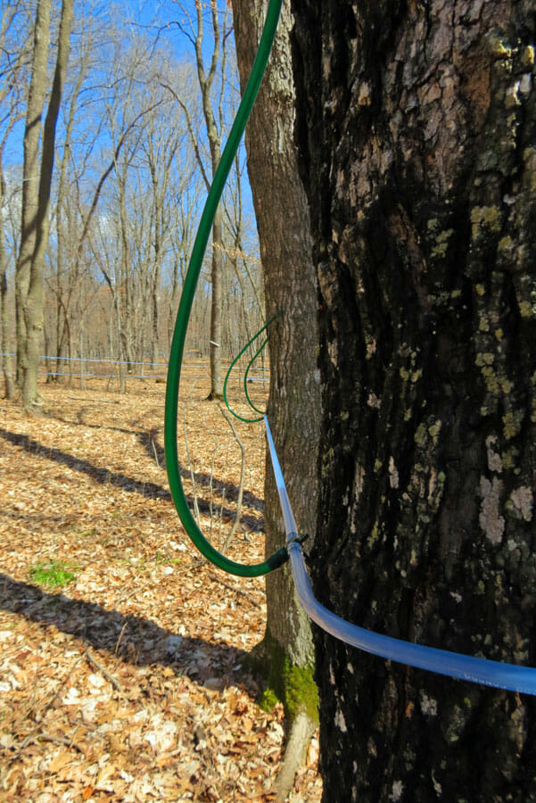 Maple tree sap Collection Line