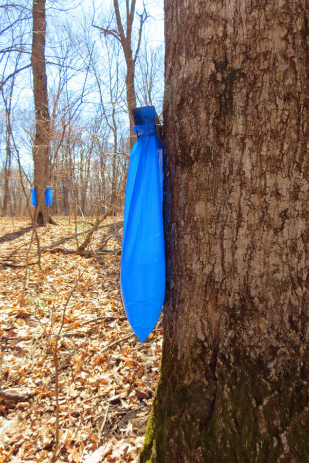 Collected maple tree sap