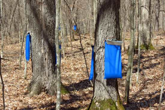 Maple sap sacks