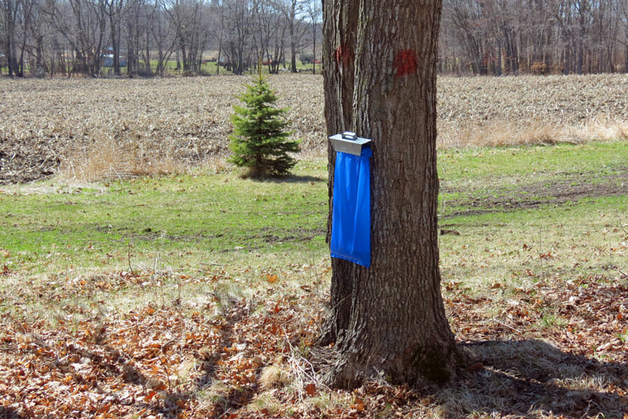 Maple tree sap collecting sack