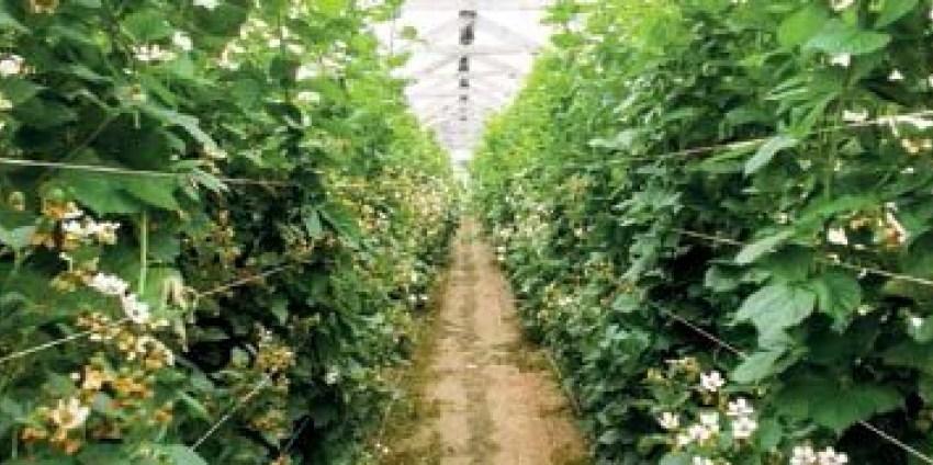 Выращивание ежевики садовой. Новые технологии и сорта (часть 2)