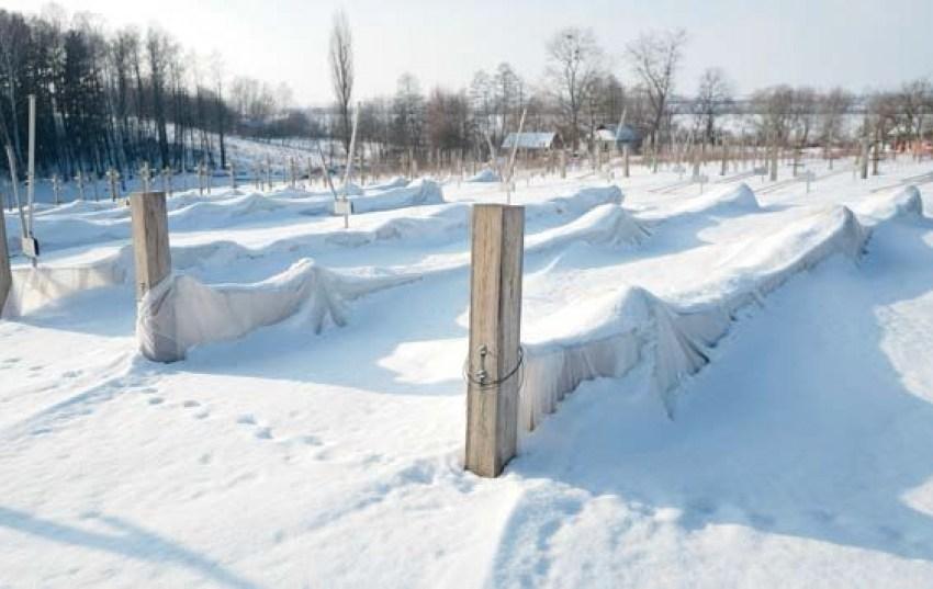 Уникальное решение для сурового климата: подвижная шпалера для ежевики