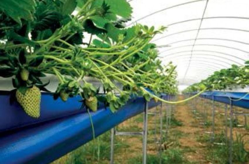 Франко Зенти об опыте выращивания земляники садовой в Японии и Китае