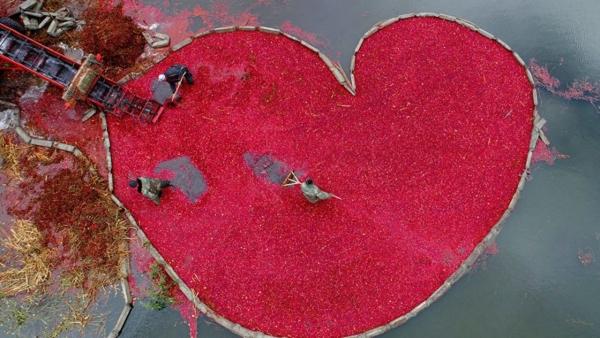 На найбільших журавлинових плантаціях у Пінську (Білорусь) сезон збору ягоди у розпалі