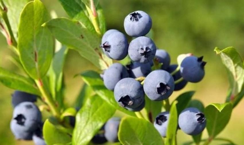 Лохина – ягода No1 в Україні за площею комерційних насаджень