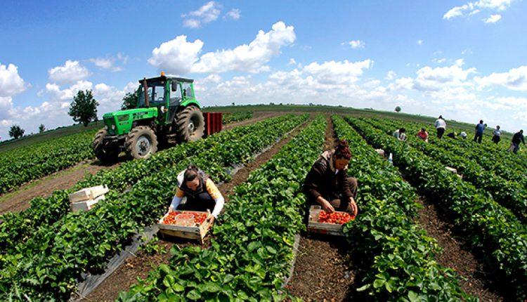 Херсонські фермери налагодили експорт полуниці до Білорусі