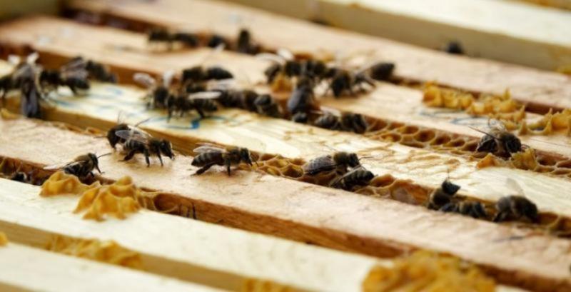 Бджоли можуть доставляти біологвчні добрива – науковці опублікували звіт