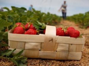Через високі ціни на ягоди у Польщі вночі крадуть полуниці