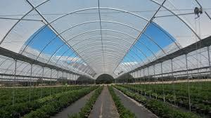 Вирощування ягід суниці у закритому ґрунті та автоматизація – головні тренди галузі