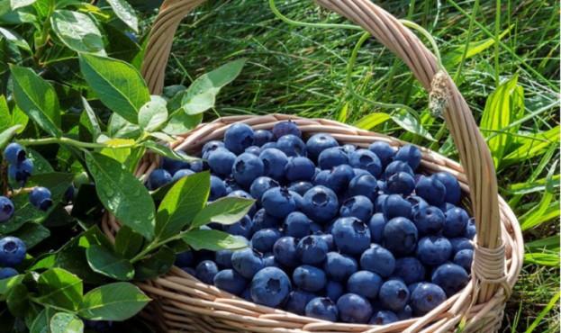Бізнес лохини дедалі зростає: COVID вплинув на продаж фруктів
