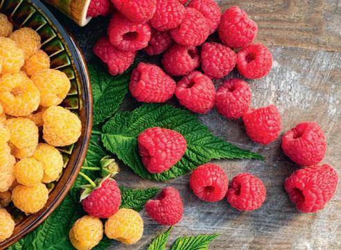 Урожай малини в Польщі може на 60% перевищити торішній