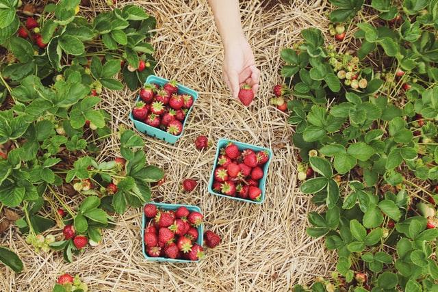 Премудрості вирощування ягоди опанували. Як освоїти ринки? Що для цього треба зробити?