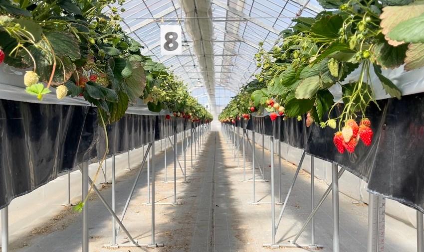 Суниця садова допомогла відновитися після цунамі