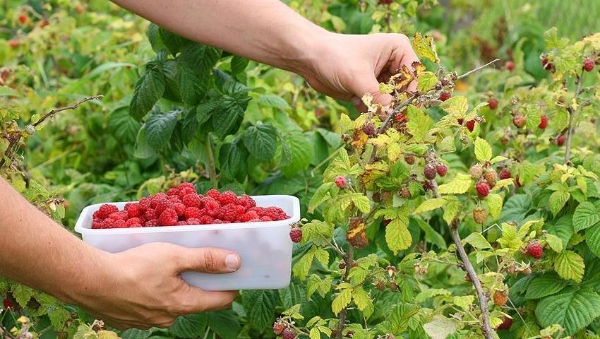 Плантацій малини в Україні може стати менше