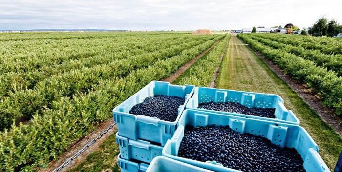 Особливості вирощування лохини в Польщі