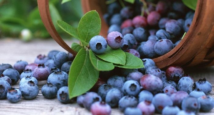 Польські ягідівники прогнозують гарний урожай лохини