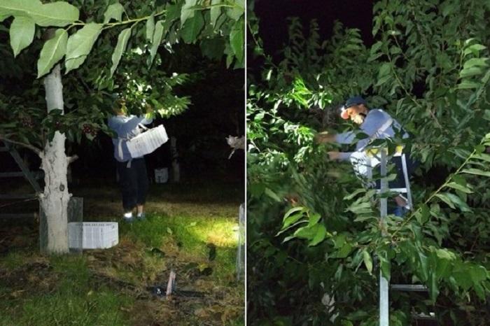 Збір черешні вночі зберігає якість плодів