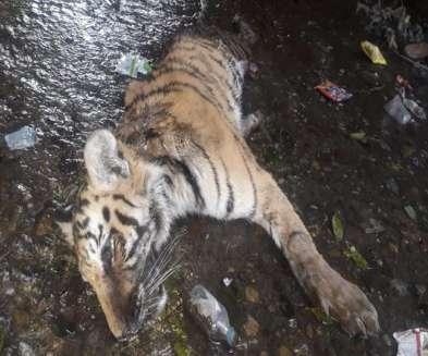 जिम कॉर्बेट पार्क में नेशनल हाइवे के किनारे गधेरे में मृत मिला बाघ