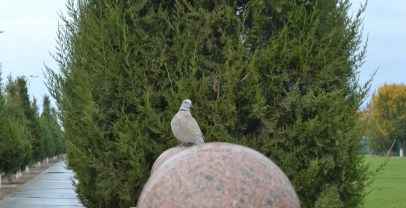 The pigeon outside tomb of Shaykh Bahaddin Naqshabandi