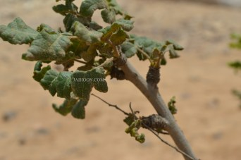 Frankincense plant at Thumrait