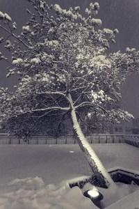 arbre enneigé