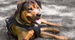 Le fonctionnement du harnais anti-traction pour chien