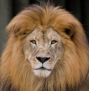 mane of a lion