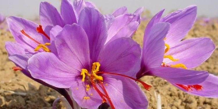 Kesar Flower