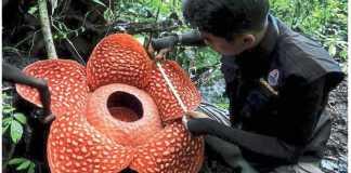 Rafflesia arnoldii-biggest flower in the world