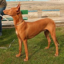 pharaoh hound