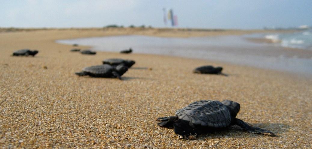 Hatchling_Loggerhead_Sea_Turtles_near_Atlit_Israel