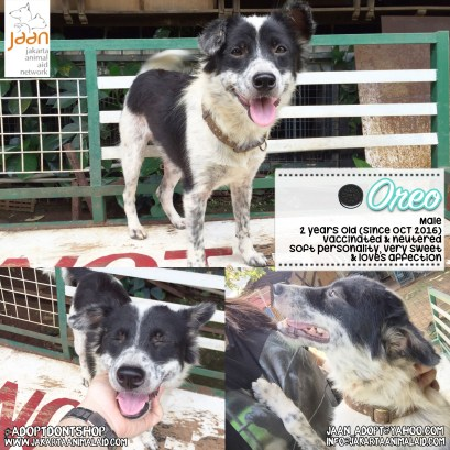 Meet Oreo! He has a soft personality & is extremely affectionate & sweet. Being his personality, Oreo is not much of a 'pack' dog & can get overwhelmed. That's why we know he would absolutely flourish in a lovely family home, with a calm environment, where he can get all the attention & love he deserves. He is a 2 year old male, healthy, vaccinated, neutered & looking for his forever home!