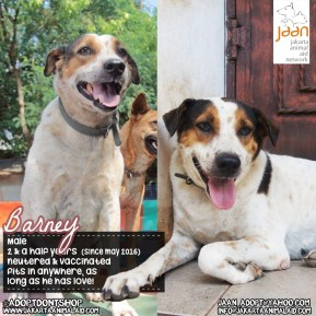 This is Barney. He was living in a garbage dump in Sunter area, with 4 other dogs before being rescued by JAAN. They were not in good shape & we were worried they wouldn't make it. He is now happy, handsome & healthy as ever! He is pretty easygoing and will fit in anywhere as long as he has love!