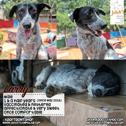 Meet Larry. Poor Larry was rescued from a dog meat restaurant. Before it was his turn JAAN rescued him and he has become such a handsome boy. He is very relaxed and once comfortable, incredibly sweet!