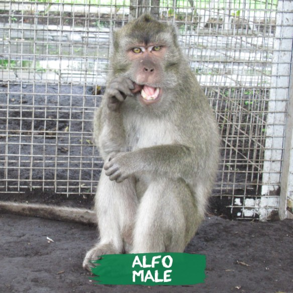 I am Alfo, the first rescued dancing monkey from the Bandung area in 2016when the ban was finally put in place, on dancing monkeys in the West Java Province.I am a big, strong male with a heart of gold & around 5 years of age. I was rescued when i acted as a dancing monkey in the center of Bandung city. I was very ill, I suffered from a worm infection & malnutrition. I depressed & stressed. I had my teeth clipped by the handlers which caused infections & pain in my mouth.  I am in quarantine already at the JAAN center. I am now being socialized to other rescued monkeys & undergoing my procedure to be rehabilitated.