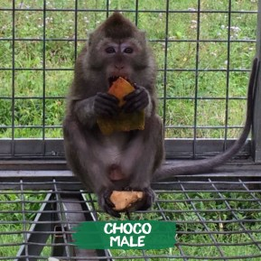 Who causes the chaos in the pack? Guilty! I do :) I was rescued from Bandung in 2016. My teeth were clipped & i had issues with my behavior but now that i have already finished quarantine, i have met more monkeys & have made friends. I like grooming my current BFF Bobo.