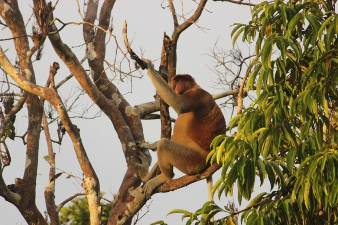 A Group of Bekantan (Proboscis Monkey) Seen at Sekonyer Riverside in The Afternoon