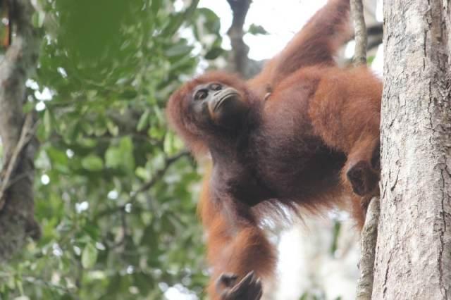 Mandy, a Pregnant Female in Tanjung Harapan