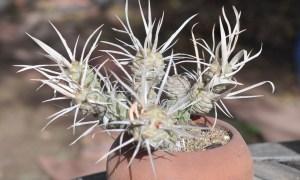 Paper Spine Cactus (Tephrocactus articulatus var. papyracanthus) by Darrel Huish