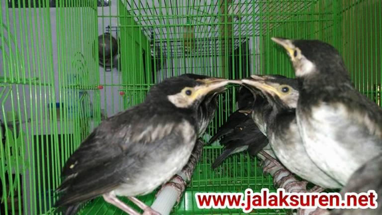 Anakan Burung Jalak Suren Lolohan