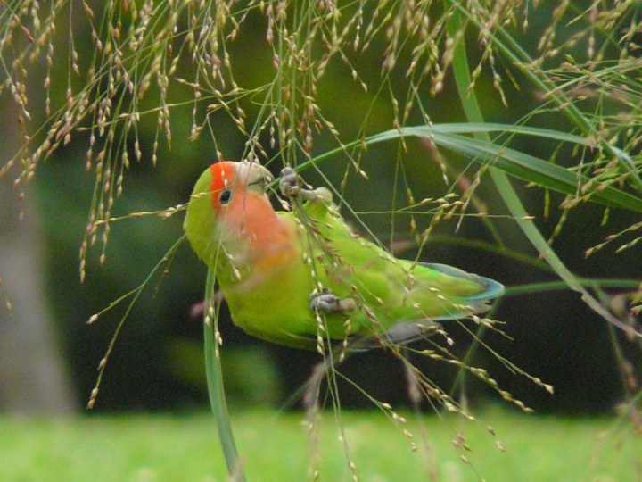 Burung Lovebird Setia Sampai Mati