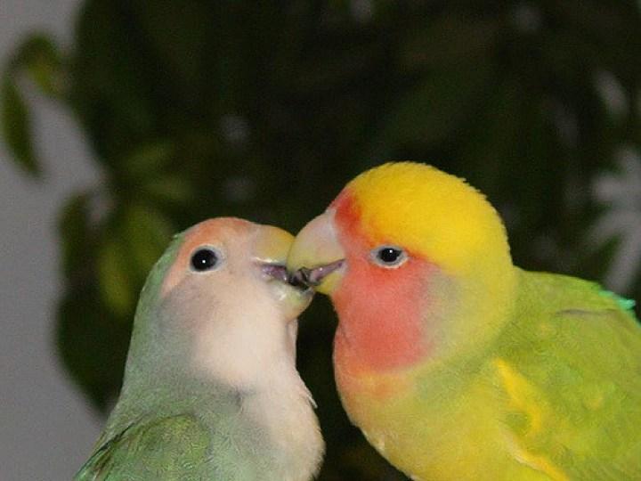 Lovebird Agresif
