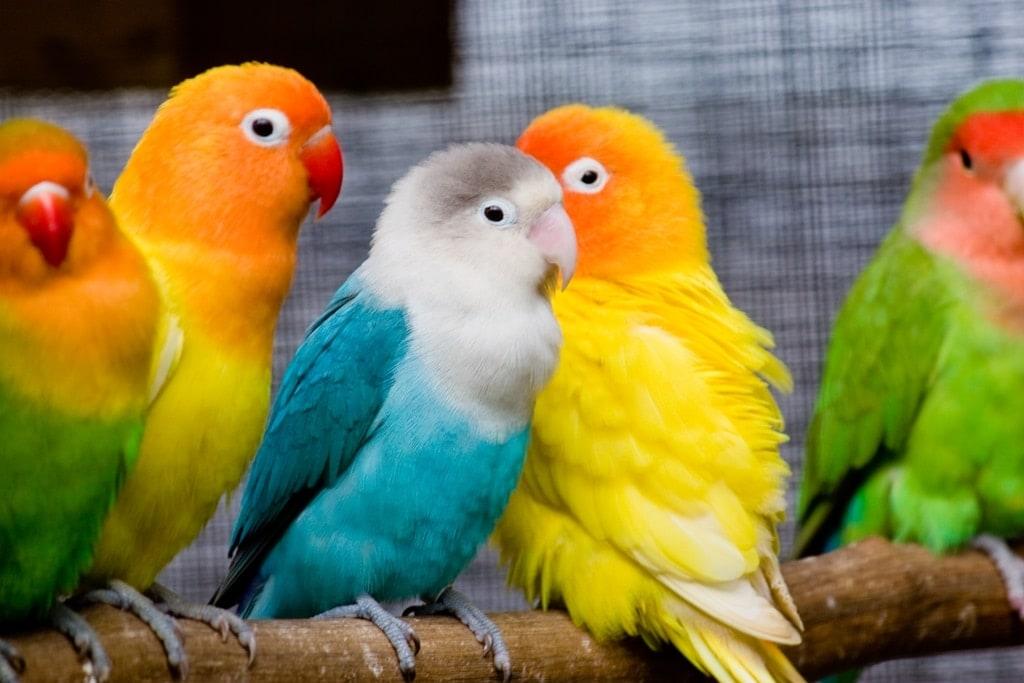 Lovebirds Banyak Spesies