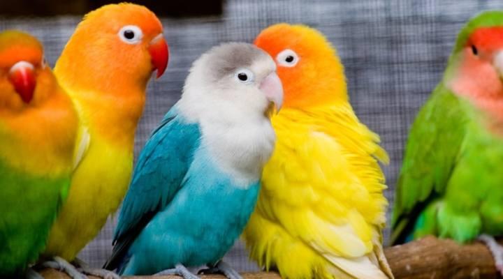 Fakta tentang Burung Lovebird yang Harus Kicau Mania Tahu