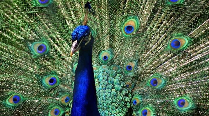 Mengenal Burung Merak Si Cantik Yang Mulai Langka