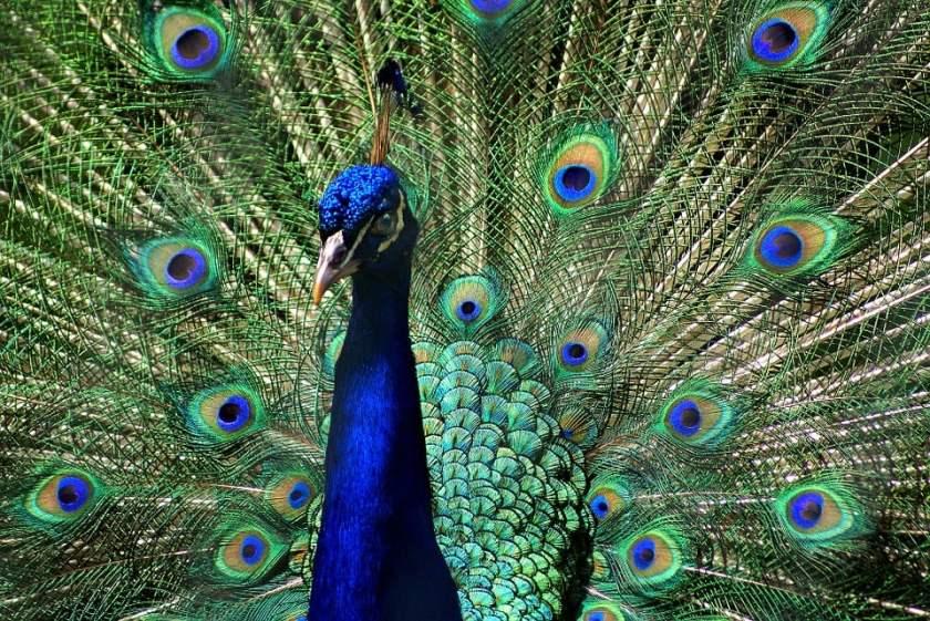 Burung Merak Jantan